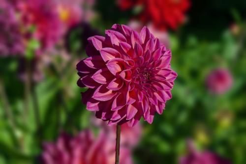 Dahlia Flower Plant Petals Fuchsia  - AMDUMA / Pixabay